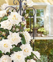 Kletter-Rose 'Blanche Colombe®'