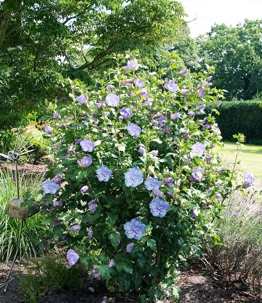 gef llter hibiskus 39 chiffon 39 blau hibiskus bei baldur. Black Bedroom Furniture Sets. Home Design Ideas