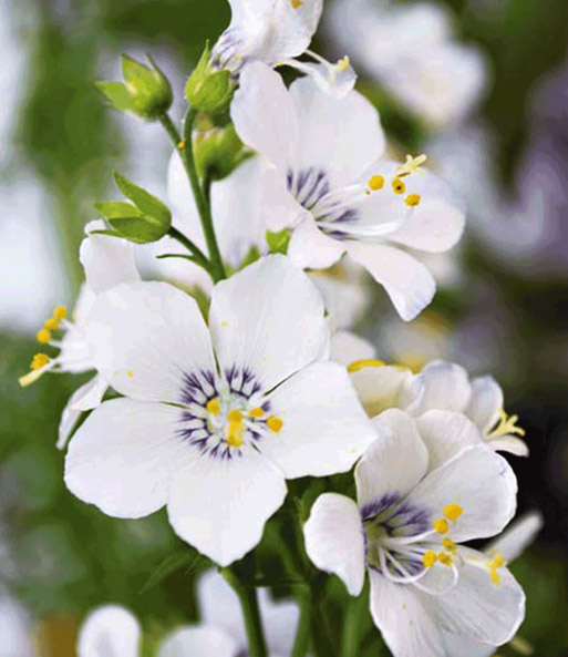 Polemonium 'Fragrant Halo'