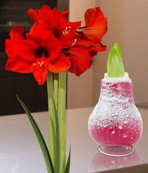 Wachs-Amaryllis 'Touch of Snow' Rot
