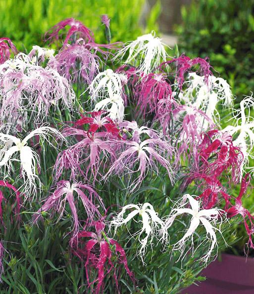 Prächtig Dianthus Dancing Geisha: Winterharte Stauden | BALDUR-Garten &KS_38
